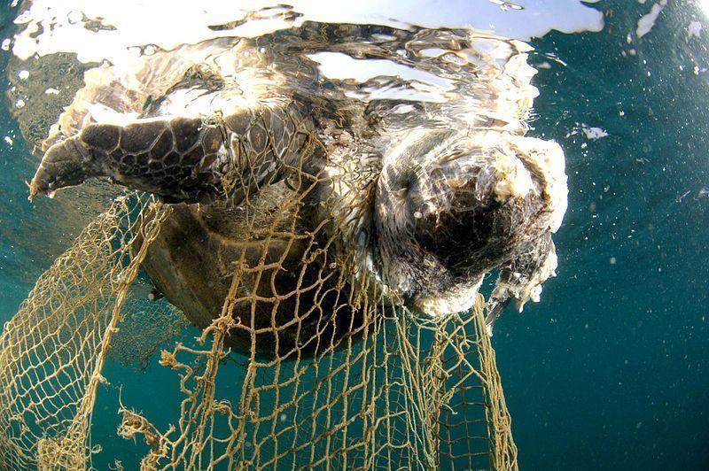Cadáver de una tortuga atrapada en una red. Fotografía de Salvatore Barbera.