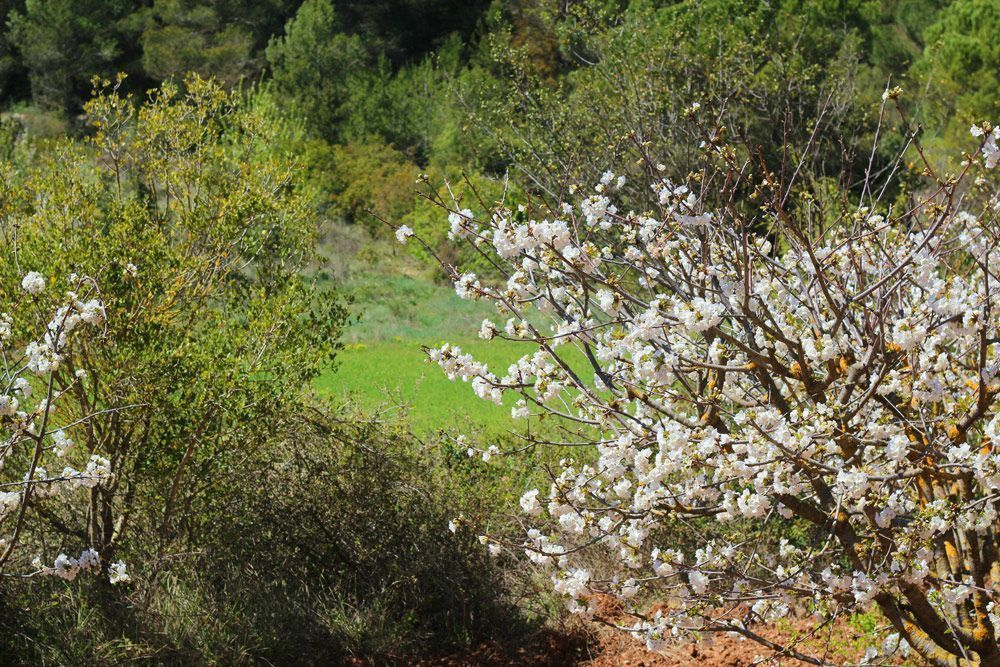 Cerezos de Apadrina cirerers en flor (Foto de Apadrina cirereres)