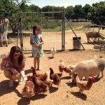 Alimentando gallinas, pavos y otros