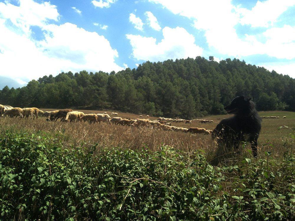 Perro ovejero con su rebaño