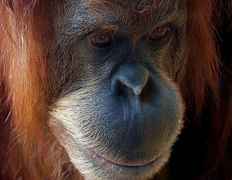 Orangutan-Sad_Kiani