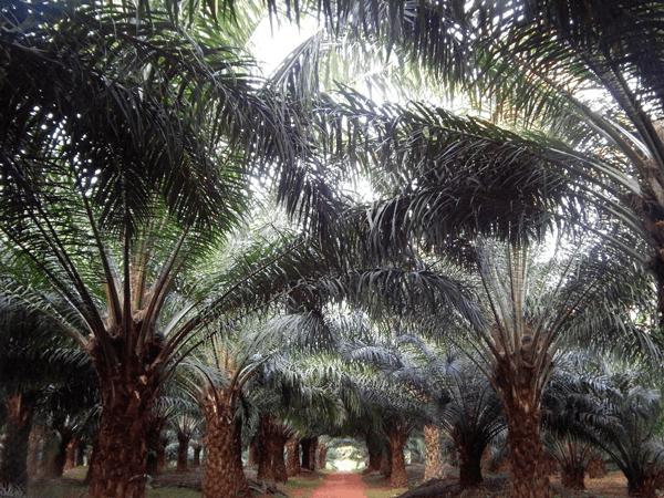 Palmas de aceite en Bugala, Uganda